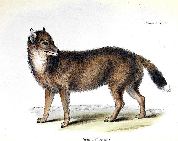 Der Falkland Wolf, 40 Jahre vor seiner Ausrottung auf Darwins Schiffsreise gemalt