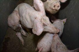 SchweinKowald