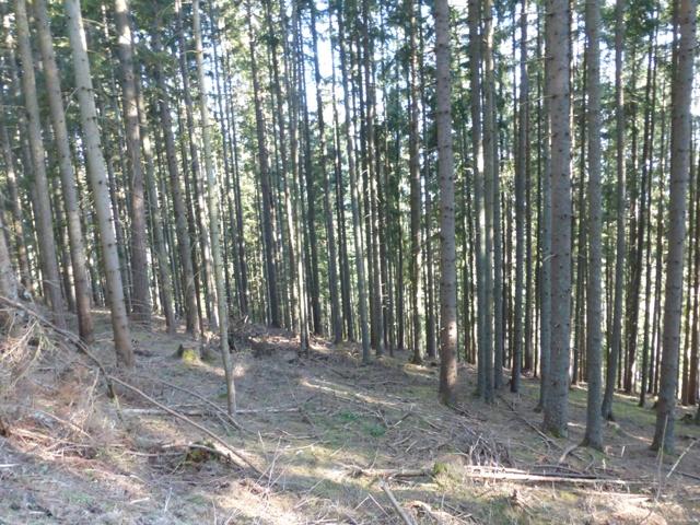 So sieht der Wald durch die Jagd aus: nur Fichten, alle gleich alt, kein Unterwuchs, keine Naturverjüngung, kein Mischwald