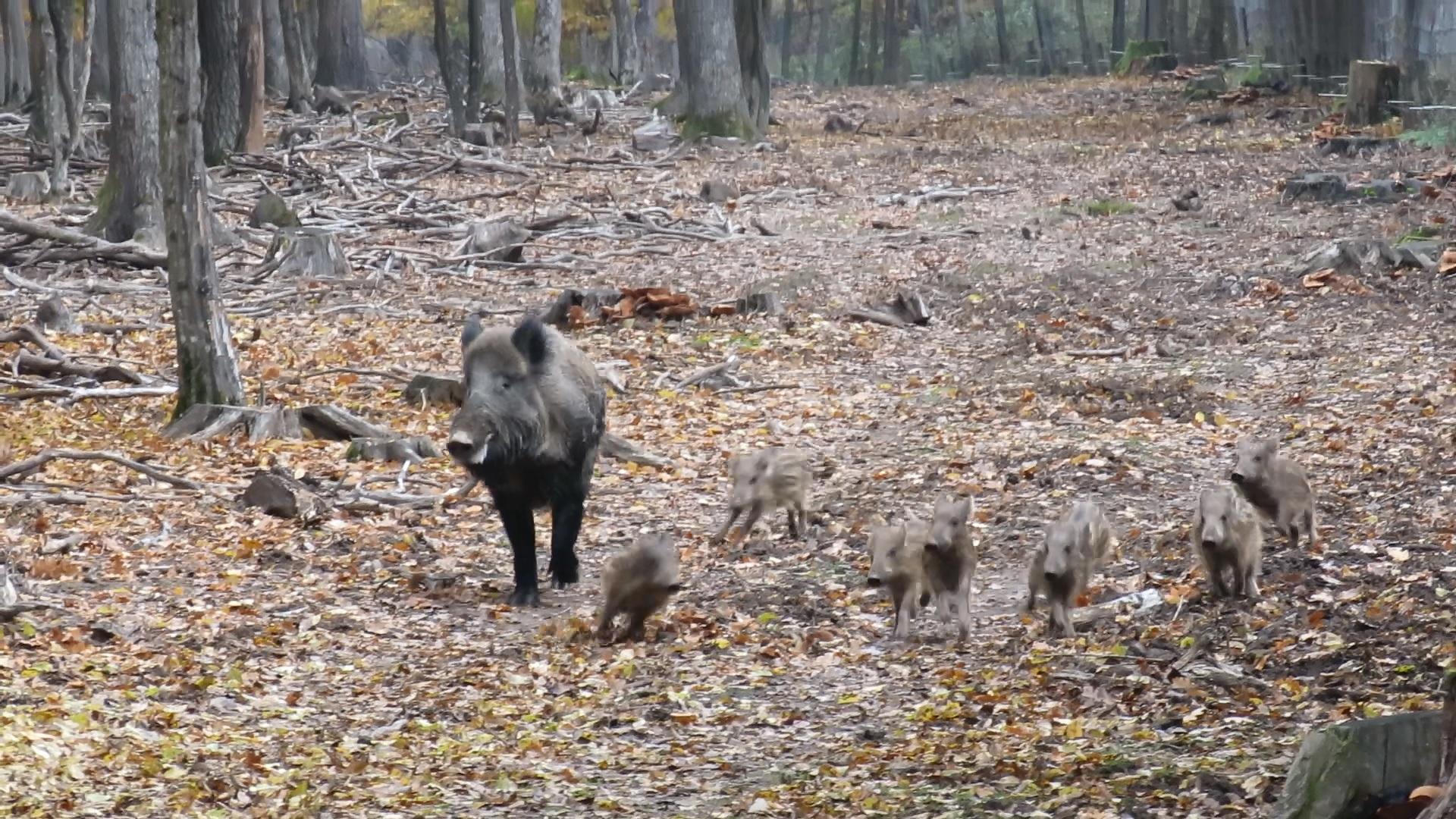 wildschweinmamakinderklein