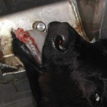 Gesetzesbruch der Regierung Teil 3: Illegale Kälbertransporte trotz EU-Mahnung toleriert