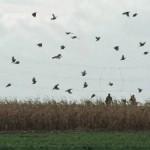 Kampagnenerfolg: Parlament verbietet Aussetzen von Fasanen für die Jagd