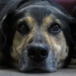 Können Hunde Menschen absichtlich täuschen?