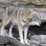 Die Wolfsansiedlung nicht zuzulassen, kostet mir Geld: Schutzzäune für Bäume!