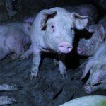 Wir brauchen dringend eine Fleischsteuer!