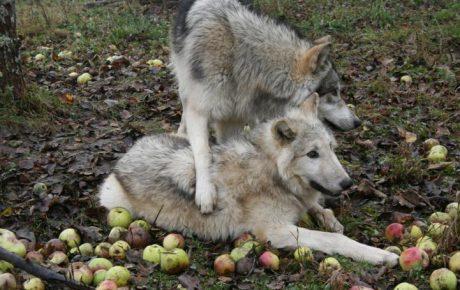 Der Hass der Jäger_innen auf Wölfe