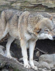 Osttiroler Bürgermeister will Wolf töten: offener Brief