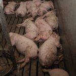 Schweine: die erschütternde Vollspalten-Realität hinter dem Stroh-Vorzeigestall