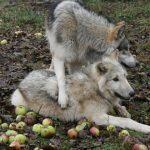Ekelhafter Wolfshass in Deutscher Jagdzeitung