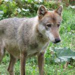 Anzeige wegen Wolfsabschuss