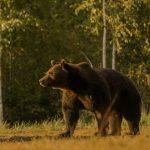 Illegaler Mord an Bär Arthur in Rumänien