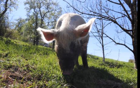 Schweine, vom Vollspaltenboden gerettet