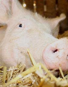 Anna, Botschafterin für die Schweine auf Vollspaltenboden