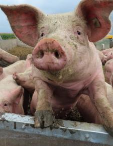 Zu Besuch bei einem etwas anderen Schweinebetrieb