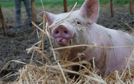 Die wundersame Geschichte der Schweine-Geschwister Mickey und Jackie