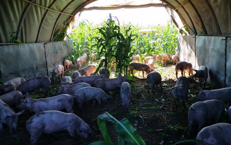 Zur abolitionistischen Kritik an meinem positiven Bericht von einem Schweinebetrieb